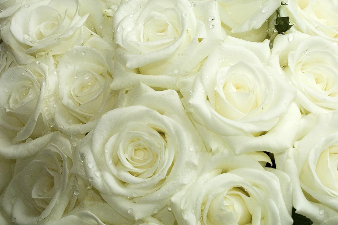 Rosas brancas lindas para decoração de casamento ou buquê de noiva.