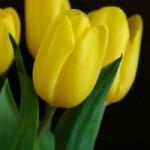 Tulipa: aspecto plástico